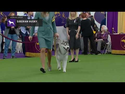 Siberian Husky (Part 1) | Breed Judging (2019)