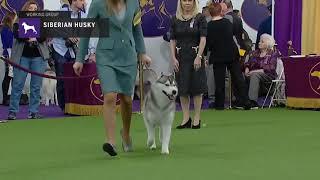 Siberian Husky (Part 1)   Breed Judging (2019)