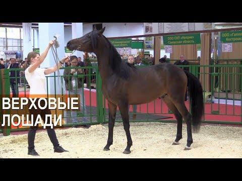 Вопрос: Как готовят лошадей к выставке?