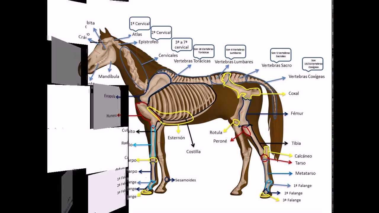 Osteología de un equino... con Dheikson Bergmann!!! - YouTube