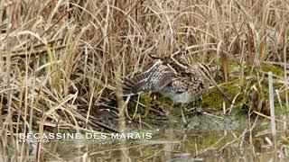 Download Bécassine des marais