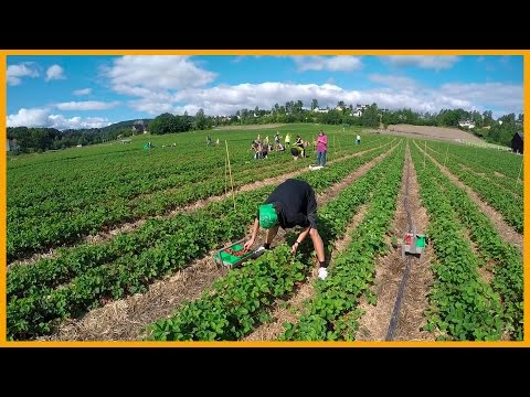 PICKING STRAWBERRIES AT AABY GÅRD IN NORWAY: FARM FRESH
