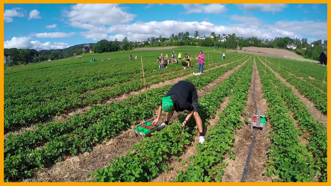 Picking Strawberries At Aaby G 197 Rd In Norway Farm Fresh