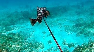 Spearfishing Rare Marbled Grouper - Bahamas Part 2 (ted's Holdover)
