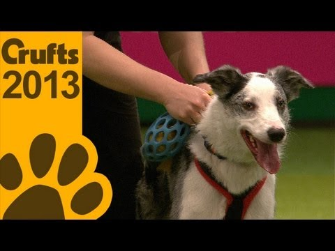 Flyball - Team Finals - Crufts 2013