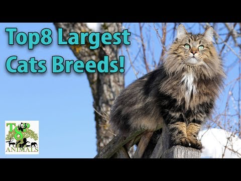 Top8 largest cats breeds !!