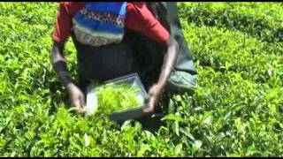 Selective Tea Harvester (Plucking Shear)