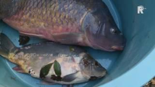 Visvereniging Spijkenisse redt laatste levende vissen
