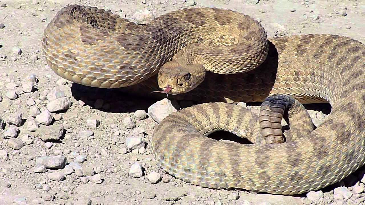 Mojave Rattlesnake Vs Diamondback