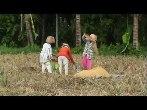 INDONESIA traditional way of harvesting rice, Bali (sd-video).mp4