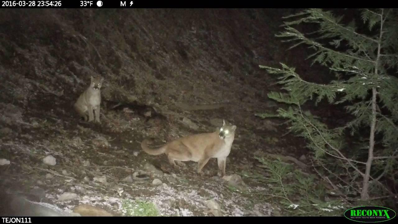 Tejon mountain lions gaurding kill (3 of 10)