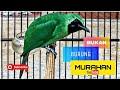 Cucak Ijo Surabaya  Mp3 - Mp4 Download