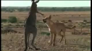 Wolfdog vs. Wallaroo (funny voiceover)