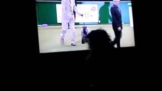 My Dog Fudge Watching Crufts On The Tv
