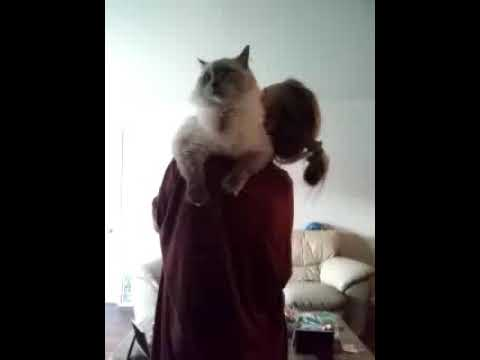 My ragdoll cat