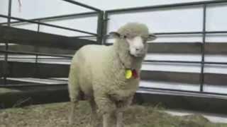Смешно. Как кричат животные: козы, бараны и т.п.