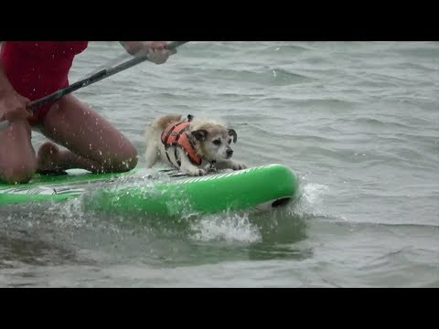 Dog Surfing Championships take place on UK coast