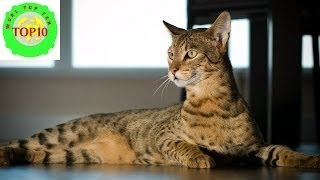 biggest cat breeds