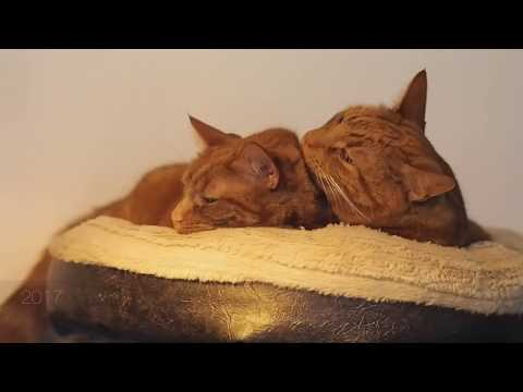 KITTENS PLAYING    MY TWO FAT GINGER TABBY CATS