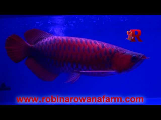 INDONESIAN BLUE RED AROWANA 45cm (2) By ROBIN AROWANA FARM [HD]