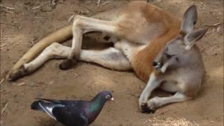 オーストラリア ゴールドコースト カランビンワイルドライフ サンクチュ...