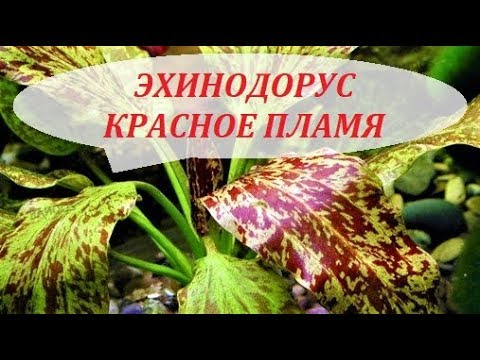 Эхинодорус Красное пламя. Содержание, размножение растения в аквариуме.