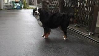 愛犬アンクルの関節炎。画像は4日経過したもの。