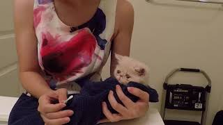 Cleaning exotic shorthair kitten's tear stains