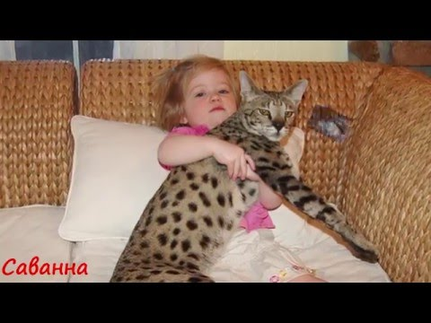 Содержание в домашних условиях кошек больших пород