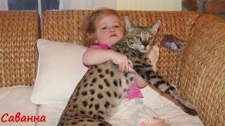 Самые крупные породы домашних кошек Топ 10