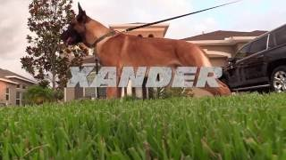 Xander Ot Vitosha Premier Protection Dog