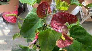 안스리움 수경재배로 바꾸는 법/ 일년내내 꽃보기.