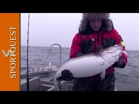 Monster Skrei Cod Fishing North Norway