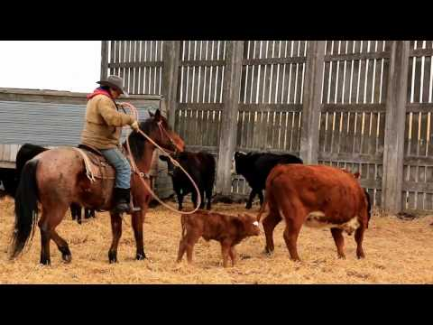 Calving time at XY Ranch - Bodo Alberta