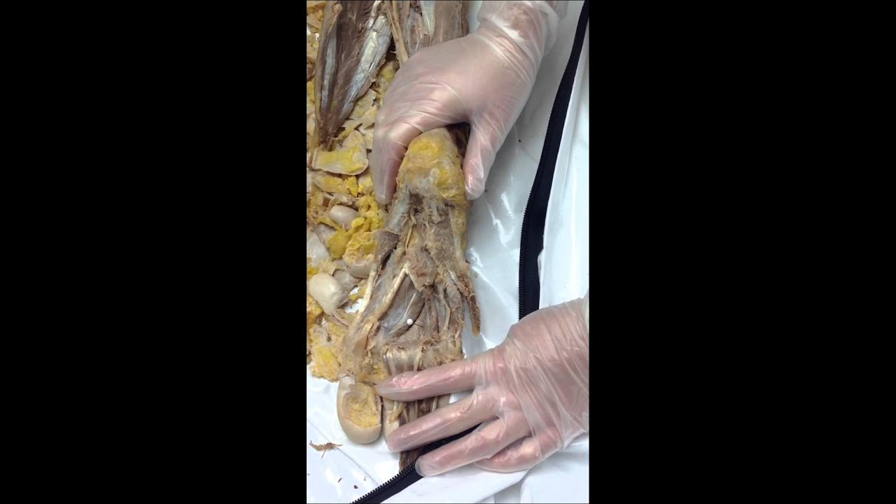 Plantar foot muscles - YouTube