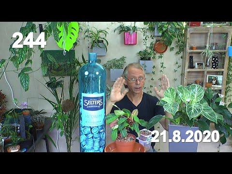 pflanzenpäckchen-auspacken-und-flasche-in-blau.-die-spuckpalme-umtopfen