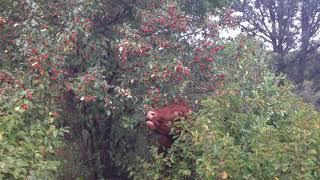 Grazing hawthorn trees