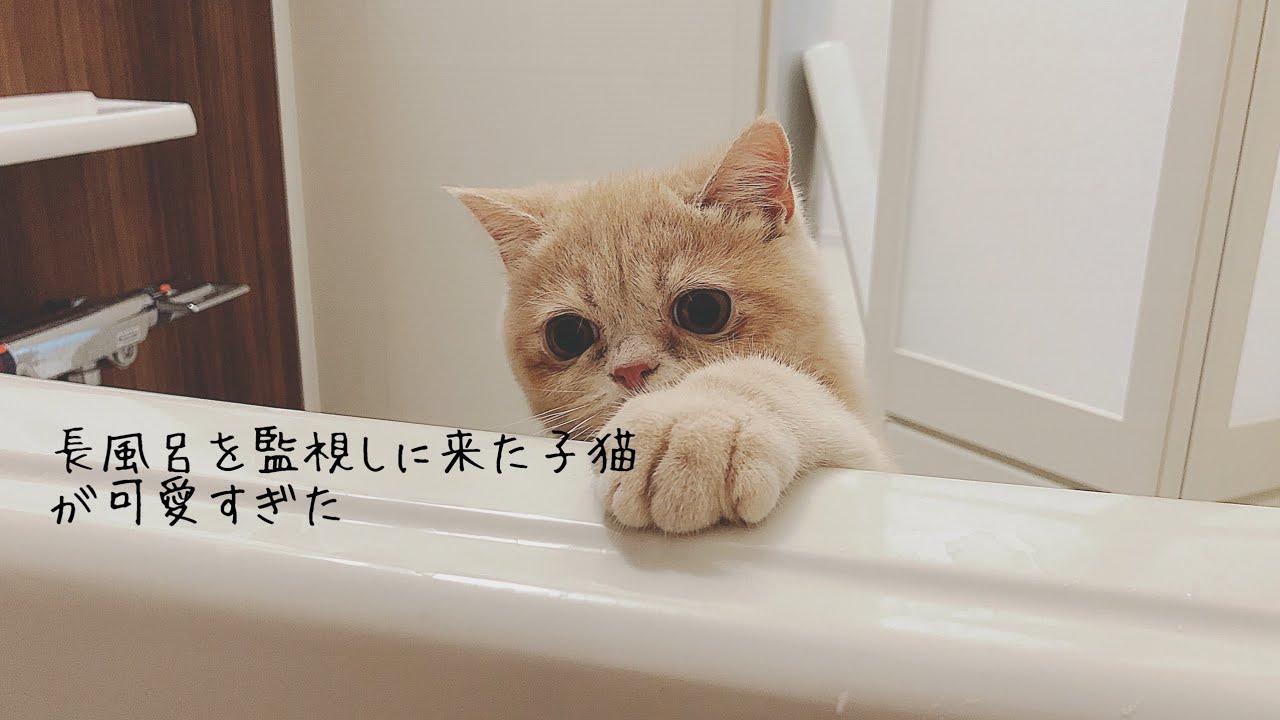 長風呂を監視しに来る子猫が可愛すぎた【エキゾチックショートヘア】