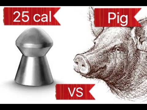 How much energy your pellet needs to kill a pig at 60m..???