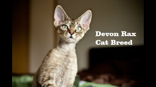 The World Most Expensive (Devon Rex Cat Breed ) Videos