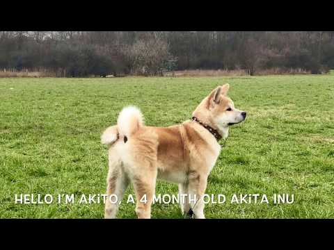 Akita Inu - Akito in the forest 4K