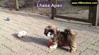 Lhasa Apso, Puppies, For, Sale, In, New Orleans, Louisiana, La, Jefferson, Bayou Blue, Moss Bluff, W