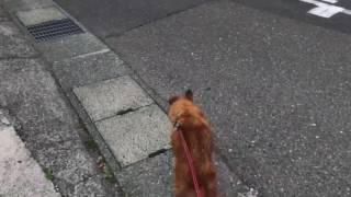 散歩だと思ってルンルンだっただいすけ。曲がり角を曲がって狂犬病の注...