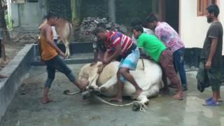 Big Cow Qurbani Bangladesh-2014, Part-2