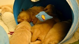 Legacy Litter @ 3 Weeks Old (golden Retriever Pups)