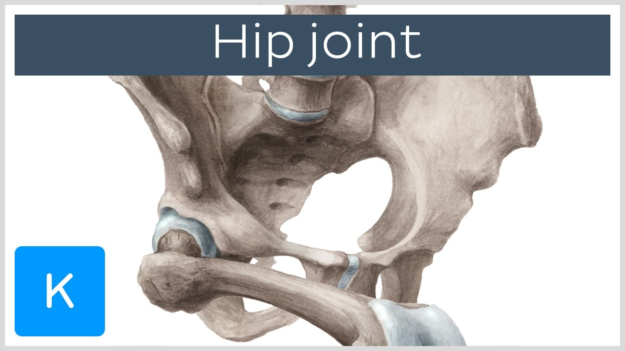 Hip Joint Bones Ligaments Blood Supply And Innervation Anatomy