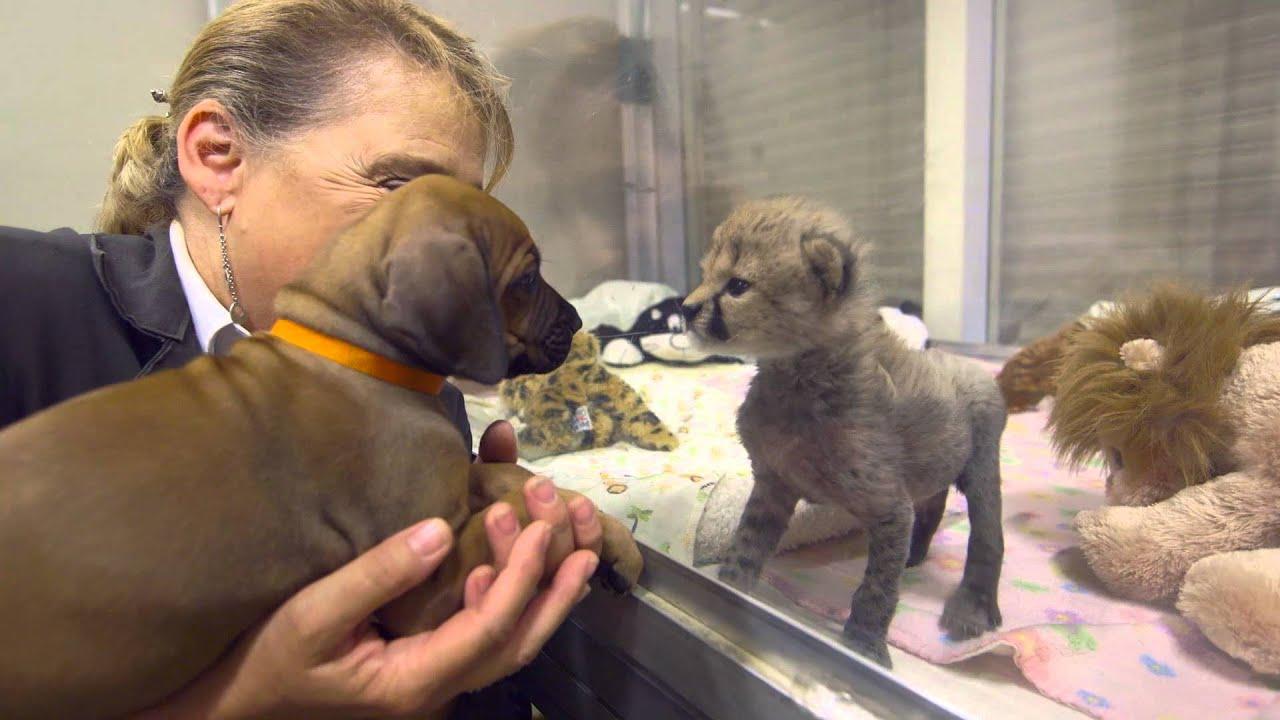 The Story of Cheetah Cub Ruuxa & Puppy Pal Raina