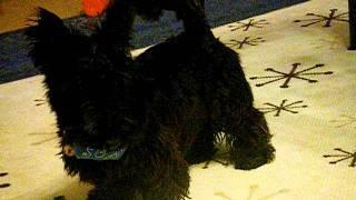 Scottish Terrier & miniature Schnauzer