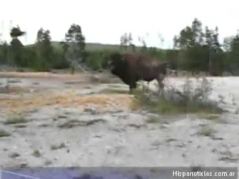 Bison charges a fat she-whale of a tourist at Yellowstone Park