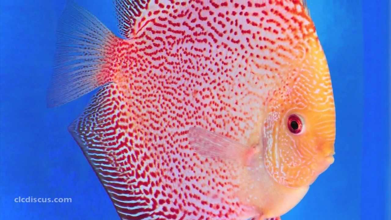 Discus fish gallery youtube for Discus fish types